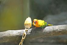 Bird Eating Raw Corn, Sun Conure