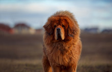 Beautiful Dog Breed Tibetan Ma...
