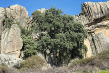 Views Of The Cork Oak El Bandolero, The Highwayman Cork Oak. It Is A Special Big Cork Oak, Quercus Suber, Which Grows In The Fissures Of A Granitic Rock Formation In La Pedriza, Madrid, Spain