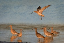 The Flock Of Eurasian Curlews ...