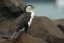 Pied Shag (Phalacrocorax Varius) Sitting On The Rock
