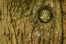 Eurasian Pygmy-Owl - Glaucidium Passerinum