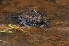 Fire-bellied Toad In The Lagoon.