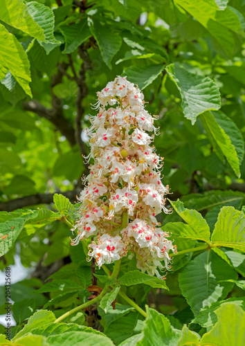 Foliage and flowers of horse-chestnut Canvas Print