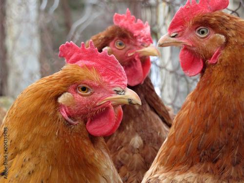 Foto op Canvas Kip Hen on the poultry farm. Domestic chickens closeup