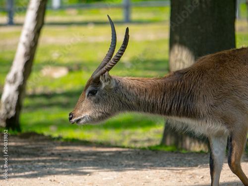 Keuken foto achterwand Antilope Antilope