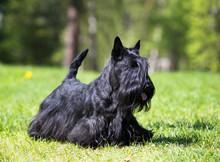 Scotch Terrier On Green Grass