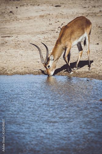 Foto op Canvas Antilope Antilope cobe lechwe