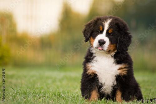 Fotografie, Obraz Bernese mountain dog puppy in green background.