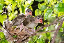 Hungry Baby Birds Streak-eared...