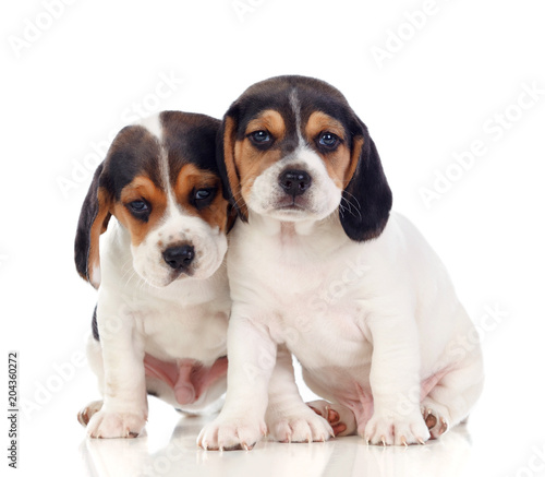 Two beautiful beagle puppies Canvas Print