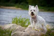 Westie Terrier In The Green Background. Free Space