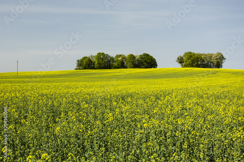 Foto op Canvas Platteland Field of rape and tree on the hill