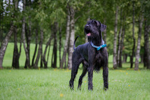 Giant Schnauzer In Green Background. Summer Park.