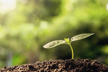 Agriculture. Young Plant  Growing On Soils With Morning Light