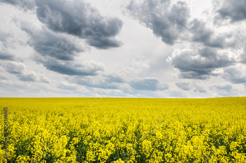 In de dag Oranje Spring landscape with yellow flowering colza fields under dramatic sky