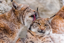 Eurasian Lynx (lynx Lynx) Cleaning Other Lynx With His Tounge