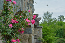 Pink Roses Growing Along A Sto...
