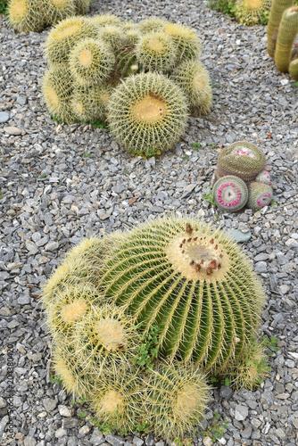 Staande foto Cactus Cactus globulaire du Mexique