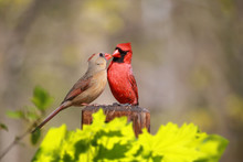 Loved Cardinal Feed Each Other...