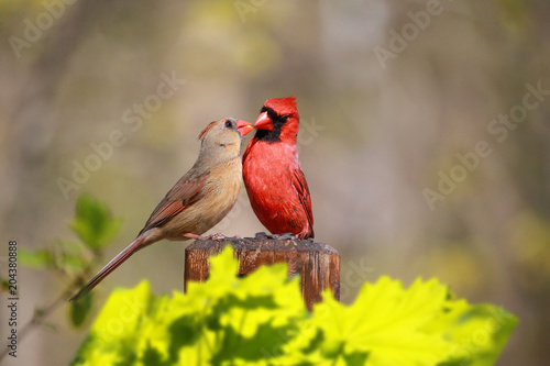 Photographie Loved Cardinal Feed Each Other in the Summer