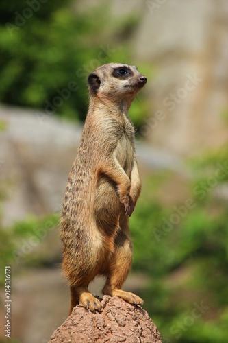 Tuinposter Eekhoorn wache halten