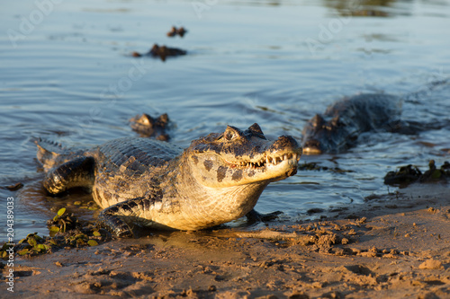 In de dag Krokodil A large caiman, Caiman latirostris, walks down the beach to enter the Cuiaba River.