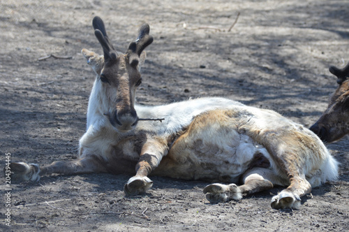 Photo  Reindeer laying on the ground