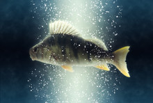 Fish. Big River European Perch...