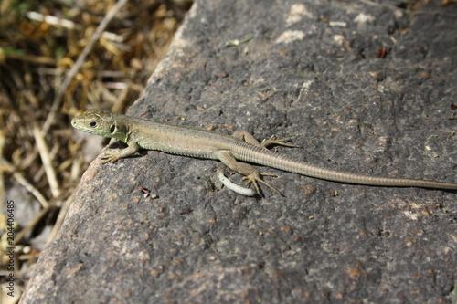 Cuadros en Lienzo little lizard