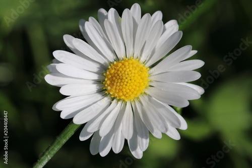 In de dag Madeliefjes Gänseblümchen (Bellis perennis) - Korbblütler (Asteraceae) im grünen Gras