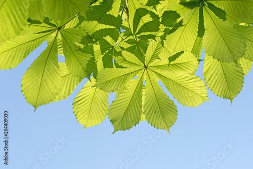 Kastanienblätter, Gewöhnliche Rosskastanie