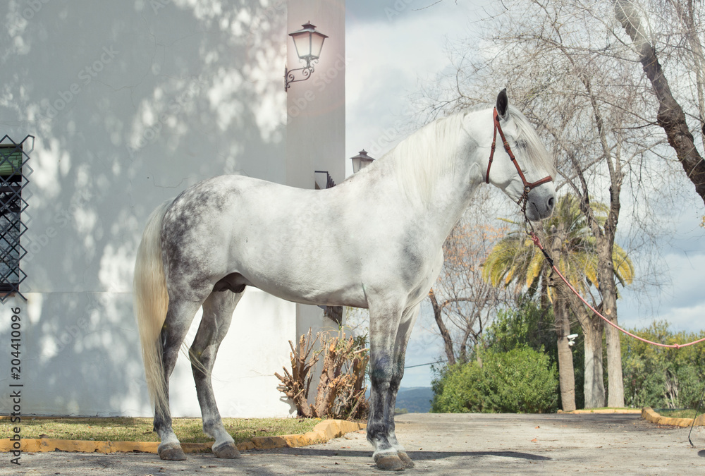 Fototapeta pure spanish stallion, Andalusian posing near traditional spanish building