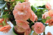 Pale Pink Begonia Flowering In...