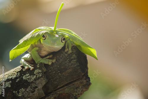 Tuinposter Kikker Frog use leaf hat