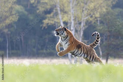 In de dag Tijger Sibirischer Tiger im Sprung