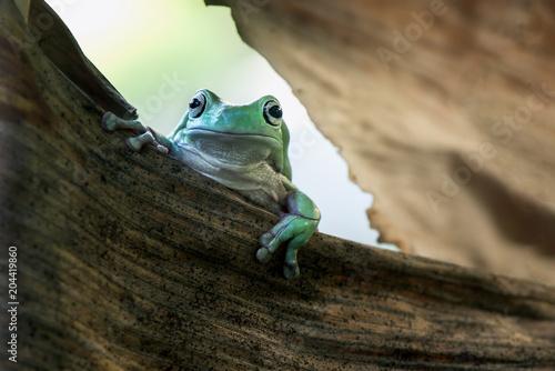 Tuinposter Kikker Frog in dry leaf