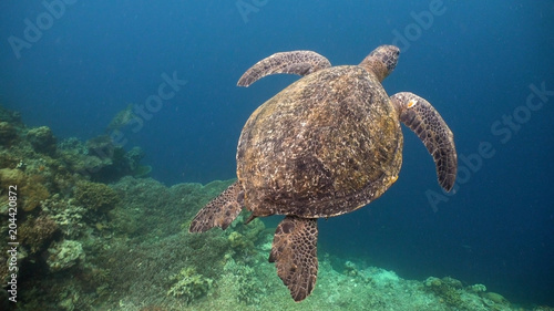 Foto op Canvas Schildpad Sea turtle swimming underwater over corals. Sea turtle moves its flippers in the ocean under water. Wonderful and beautiful underwater world. Diving and snorkeling in the tropical sea. Philippines.