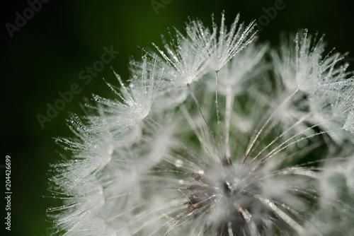 Staande foto Paardebloemen en water closeup of dandelion parachutes on green grass background