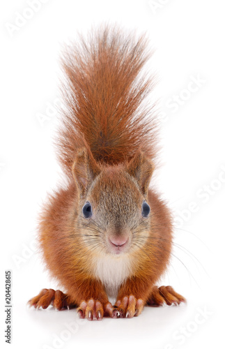 Fotomural  Eurasian red squirrel.