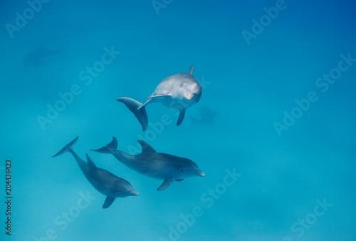 Fotografía  Bottlenose dolphins