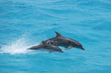 Fototapeta Delfin Adult and baby dolphin