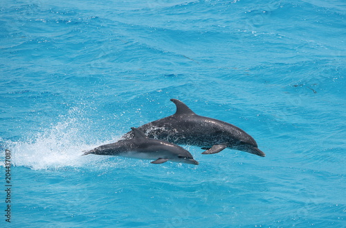 Fototapeta Adult and baby dolphin