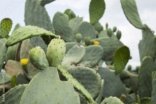 Fruit of the cactus Canvas Print