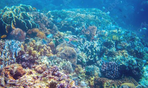 Foto op Canvas Onder water Coral reef and dascillus fish on sea bottom. Warm blue sea view with clean water and sunlight