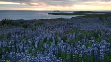 Lupine Field Next To The Ocean. In Background The Midnight Sun. Husavik, Iceland