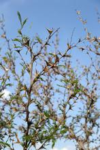 A Wild Thornbush With Many Spikes Against The Sky.