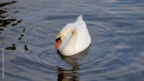 Foto op Canvas Zwaan white swan on the lake