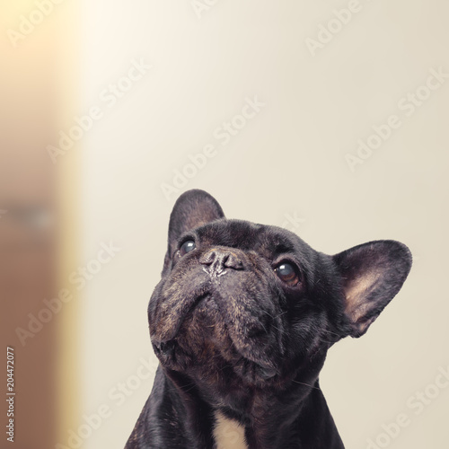 Close-up view of funny and adorable french bulldog , 12 years old , looking up