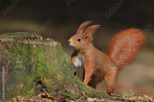 Tuinposter Eekhoorn Art view on wild nature. Cute red squirrel with long pointed ears in autumn scene with nice deciduous forest in the background. Wildlife in November forest. Squirrel in habitat.